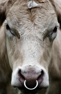 bull-with-nose-ring